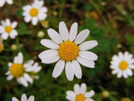 Wild daisy by PaganFireSnake