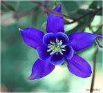 Columbine by theresahelmer