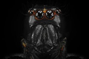 Black Salticidae by djusa