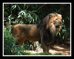 king of the jungle by bamfrussian