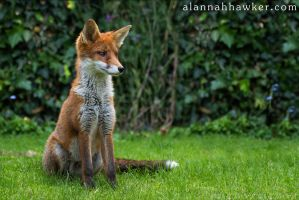 Fox Cub 12 by Alannah-Hawker