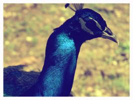 Peacock by ThatPhotograph
