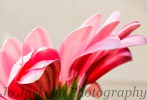 Pale Pink Gerbera 3 by Britwitch-1981