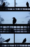 Crows by Arina1
