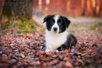 Border Collie by Zheltkevich