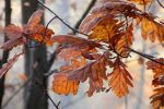 Autumn with oak by rosaarvensis