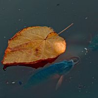 autumn leaf by poivre