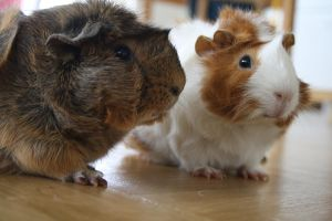 Guinea Pigs by sonne109