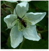 Longhorn Beetle by In-the-picture