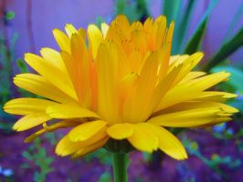 Calendula officinalis by Paul774
