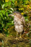 Nankeen Night Heron by DanielleMiner