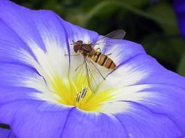 Hoverfly by WalkerGermany