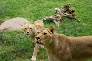 Lionesses by J-the-Ninja