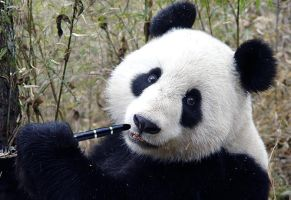 If you give a panda a clarinet by sana24