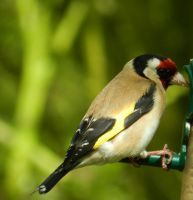 Beautiful Goldfinch by weecritter
