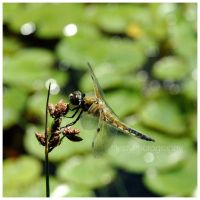Dragonfly by JessyPhotography