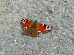 Stock - Peacock Butterfly I by rockgem