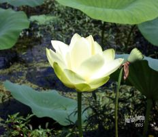 Edible Parts  Lotus Lily Nelumba Lutea. Autumn by bullsnook