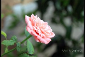 rose01 by B-Alsha3er