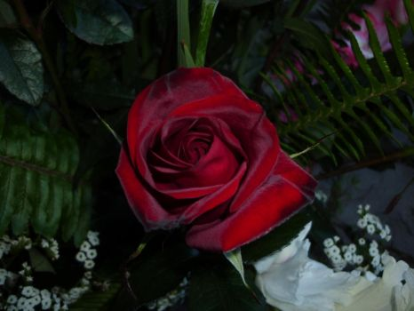 rosa roja by toth2002