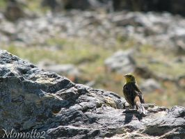 Nice Yellow Hammer on rock by Momotte2