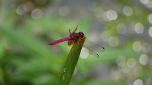 Details in Nature - Magenta Dragonfly by SneakyC2