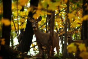 Autumn Doe by S-H-Photography