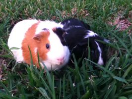 Guinea pigs on grass by Trackforce
