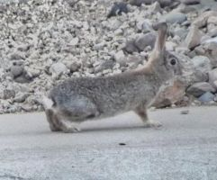 Wild Cottontail by LadyKels
