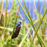Zygaena near the sea by Jorapache