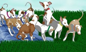 Ibizan Hound Pups by AustralianShepKennel
