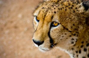 Eye of the Cheetah by MarkKenworthy