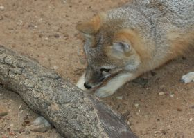 Swift Fox Chasing Crickets by Jack-13