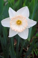 Daffodil 2 by LucieG-Stock