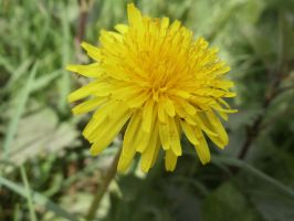 Dandelion by PhotographyisArt123
