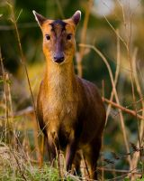 Meeting a Muntjac in the morning by do7slash
