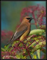 Waxwing 3 by Ptimac