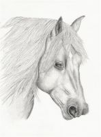 Sussex Horse Breed by carriephlyons