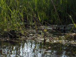 Coot with chicks by bbrtki