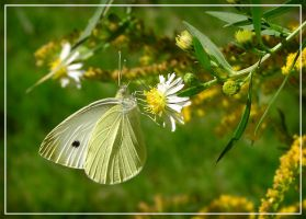 Cabbage White on Aster III by MuseSusan