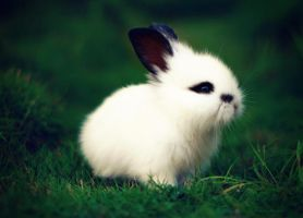 the whitest rabbit alive.. by herryhewy