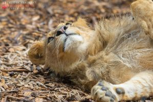 Resting lion. by Ravenith