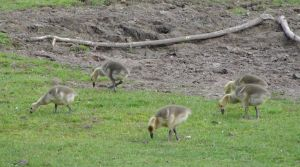 Canadian Goose Goslings by FantasyStock