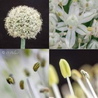 The  Onion Flower Story by DeaneP