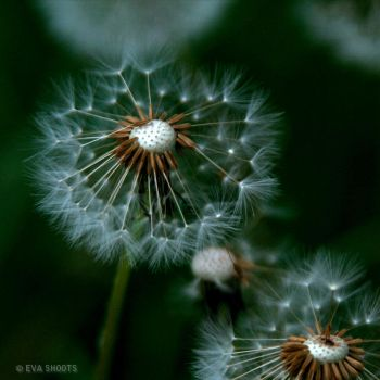 dandelions after a puff by EvaShoots