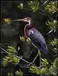 Tricolored Heron 40D0027767 by Cristian-M