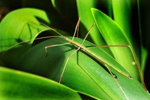Stick Insect by AdamsWife