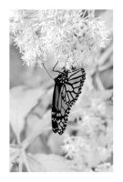 The Butterfly that Taunted Me by Arcanacaries