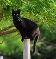 Black cat stock by JSF1
