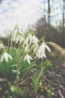Snow Drops by woodfaery